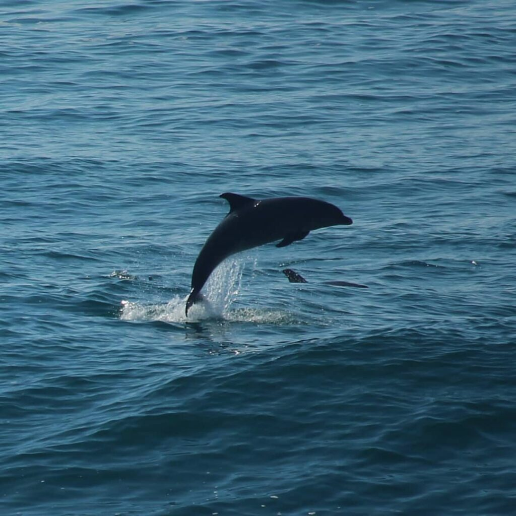 bottlenose dolphins Galicia
